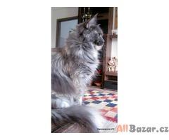 Mainská mývalí kastrovaná kočička s PP