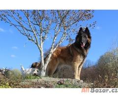 Belgický ovčák - štěňata