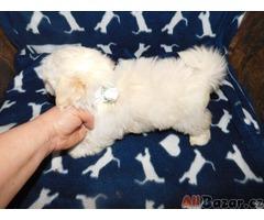 Barevný bolonský psík kluk s PP štěně