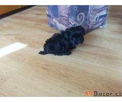 Havanský psík fenka s PP štěně