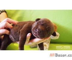 Čokoládová štenátka Labrador retriever
