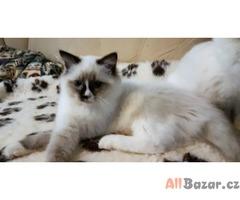 Ragdoll - koťátka s PP