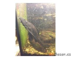 Daruji (asi) dospělou rybku ancistrus, rušíme totiž akvarium