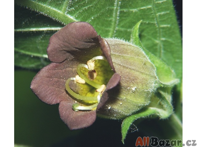 Atropa Bella-Donna - semena
