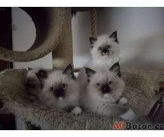 Prodám koťatka Ragdoll s PP
