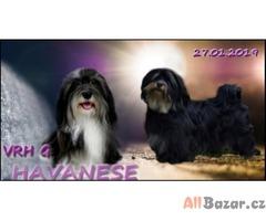 Bišonek - Havanský psík s PP