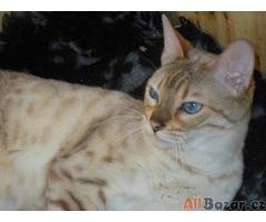 Bengálská kočka