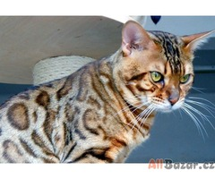 Bengálská kočka - rozetová koťátka