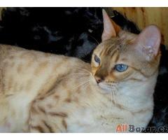 Bengálský kocourek rozetový