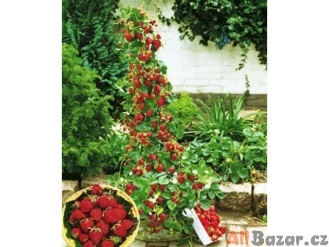Jahodník Super star - semena
