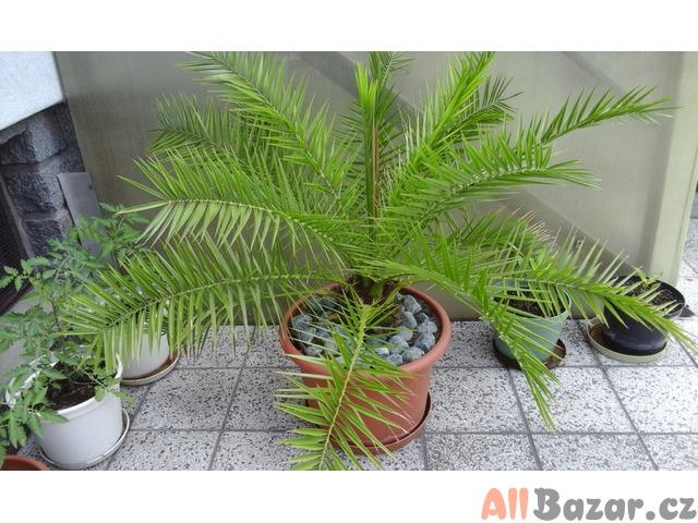 prodám datlovou palmu