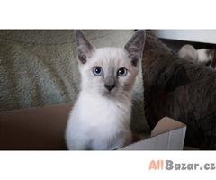 siamská koťata