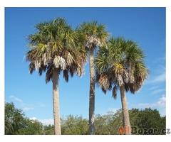 Sabal palmetto - sazenice