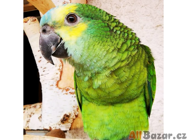 Amazonan modročelý