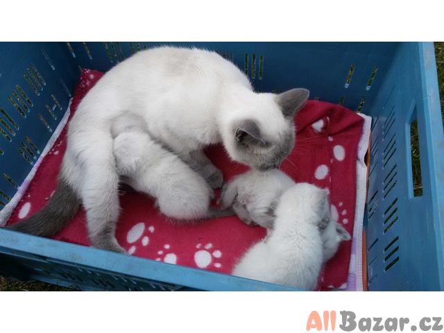 Britska koťátka colopoint