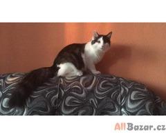 Koťata norské lesní kočky
