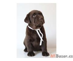 Labradorský retriever čokoládová štěňátka s PP