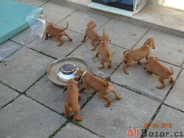 prodej štěnat