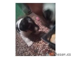Prodám štěně foxteriéra drsnosrstého