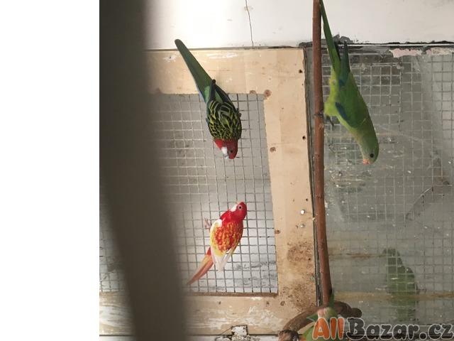 Prodám papoušky