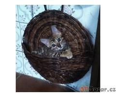 Bengálská koťátka