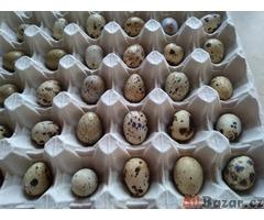 krepelčí vejce