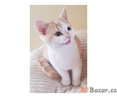 Britská koťátka s PP.