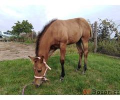 Prodám kobylku Paint horse