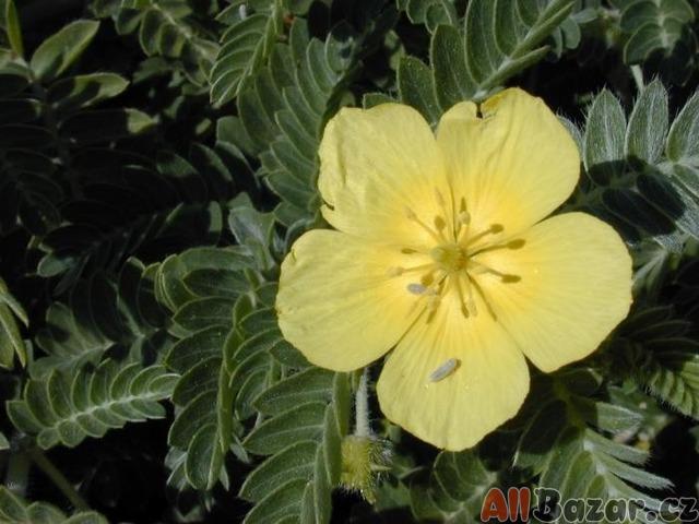 Kotvičník zemní - semena