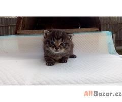Darujeme mourovatou kočičku