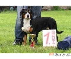 Entlebušský salašnický pes s PP