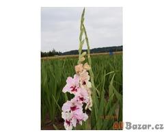 Nabidka velkovětých gladiol