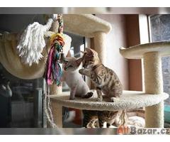 Bengálská koťata TICA registrována