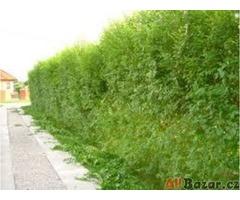 AKCE: Kouzelný (zázračný) živý plot - Jilm sibiřský - bezkonkurenční cena!!!