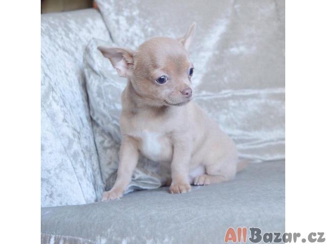 Xxx Ohromující Ki Chihuahua Registrován Smoothcoat