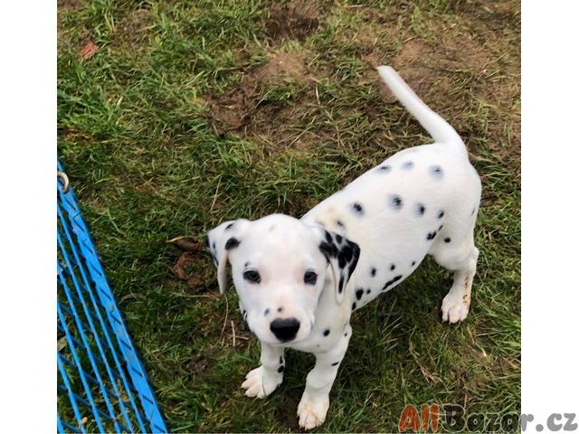 Krásná dalmatinská štěňátka na prodej