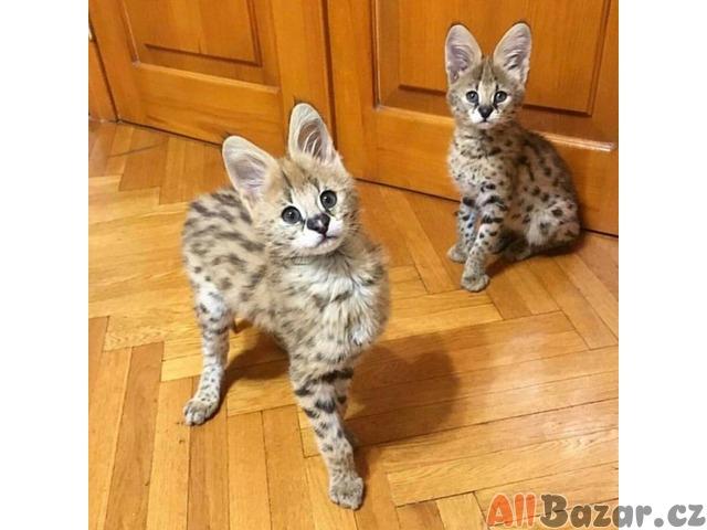 K dispozici jsou koťata F1 a F2 Savannah