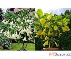 Kříženec Brugmasia Arborea a Brugmansia Goldface: - semena