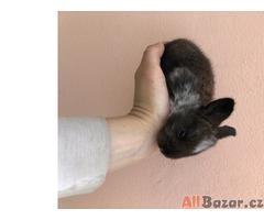 Králík- mláďata na mazlíčka s předpoklady pro králičí hop