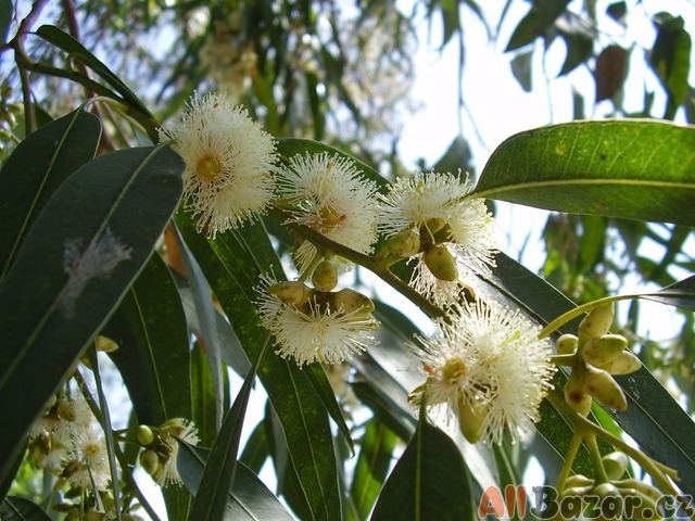 Eucalyptus Globulus - semena