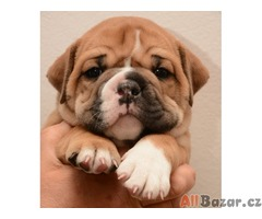 Kontinentální buldok Continental bulldog