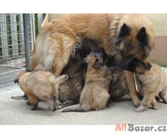 Belgický ovčák dlouhosrstý - Tervueren - prodám štěňata s PP