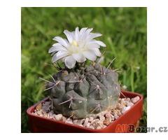 Kaktus Gymnocalycium chubutense - semena