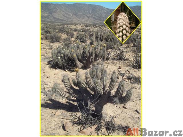 kaktus Eulychnia breviflora - semena