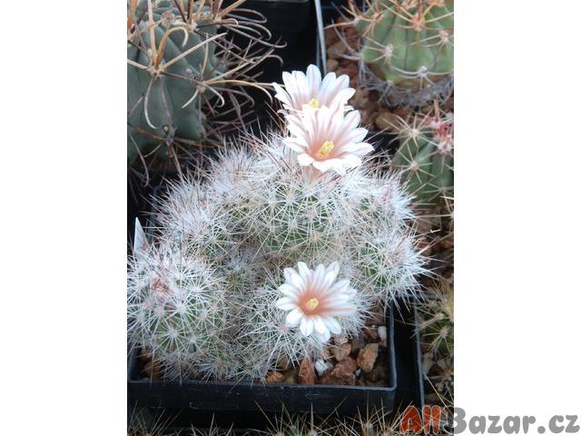 Kaktus Escobaria zilziana - semena