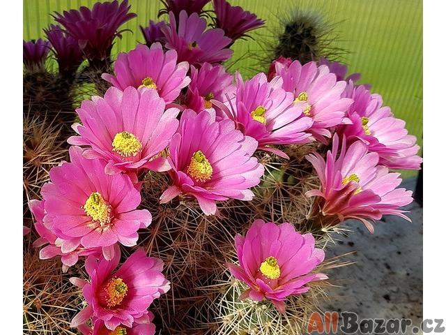 Kaktus Echinocereus roetterie - semena