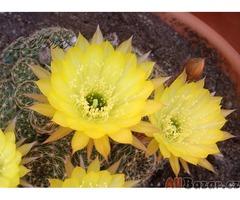 Kaktus Lobivia arachnacantha v. mairanana - semena