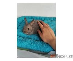 Zakrslý králíček se saténovým genem