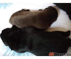 Labradorský retrievr s PP