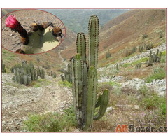 Kaktus Neoraimondia areguipensis v. roseiflora - semena